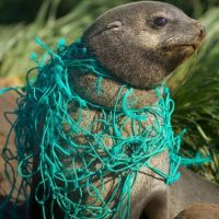 A brown sea animal trapped in a fishing net